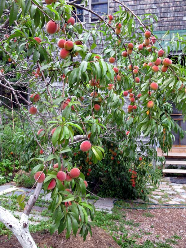 The red haven peach tree nice gardens yard ideas for Peach tree designs