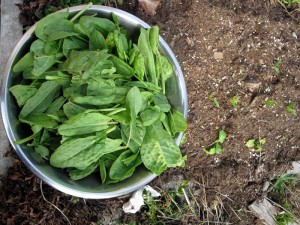 bowl of sorrel