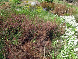alpines heath heather rockcress