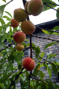Peaches ripening