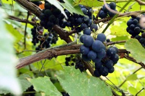 beta grapes