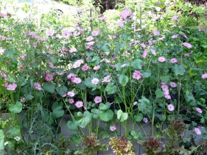 mallow hedge