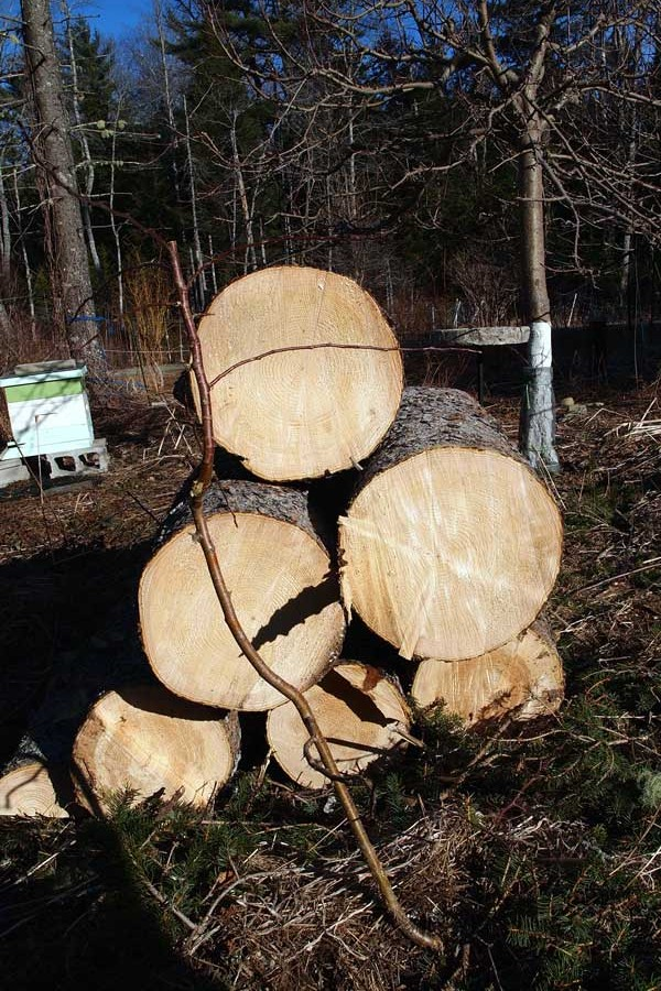 big spruce down logs