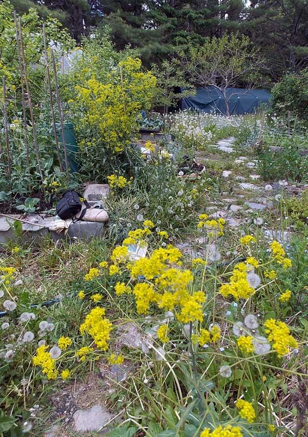 dandelions and dyers woad