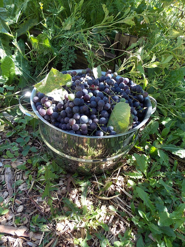 steamer basket full of grapes