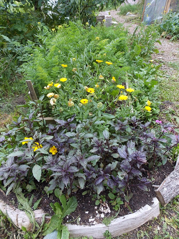 purple basil and calendula