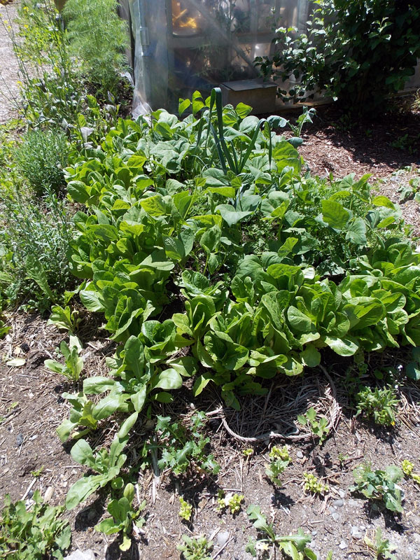 lettuce and bush beans