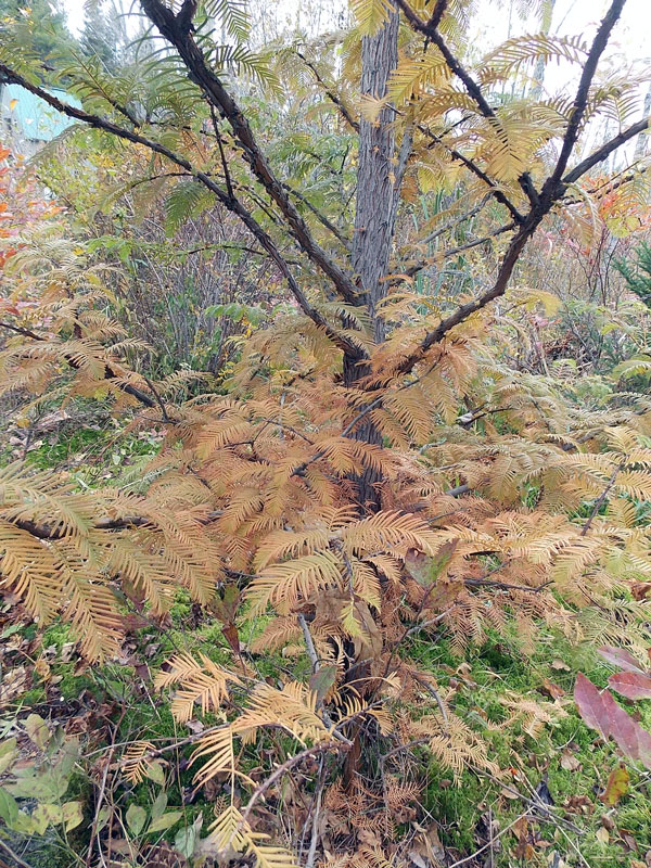 Dawn Redwood foliage